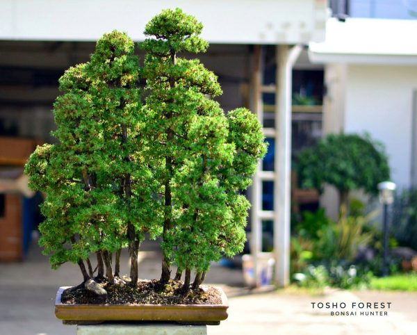 Tosho Forest บอนไซโตโช